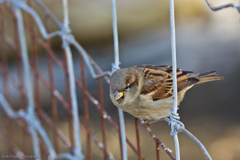 Sparrow, Calgary Zoo, Nov. 30