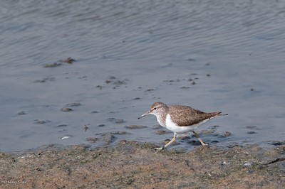 Sandpiper, Common