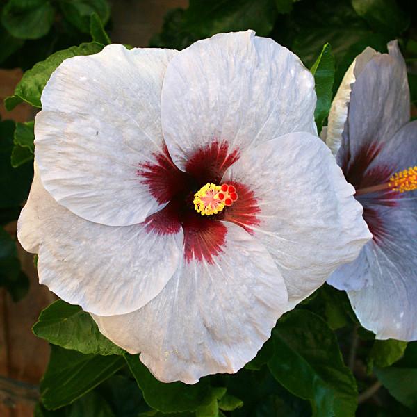 7542 Hibiscus.jpg