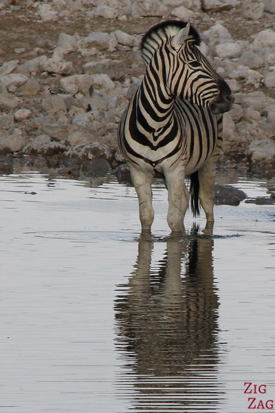 reflection of zebra