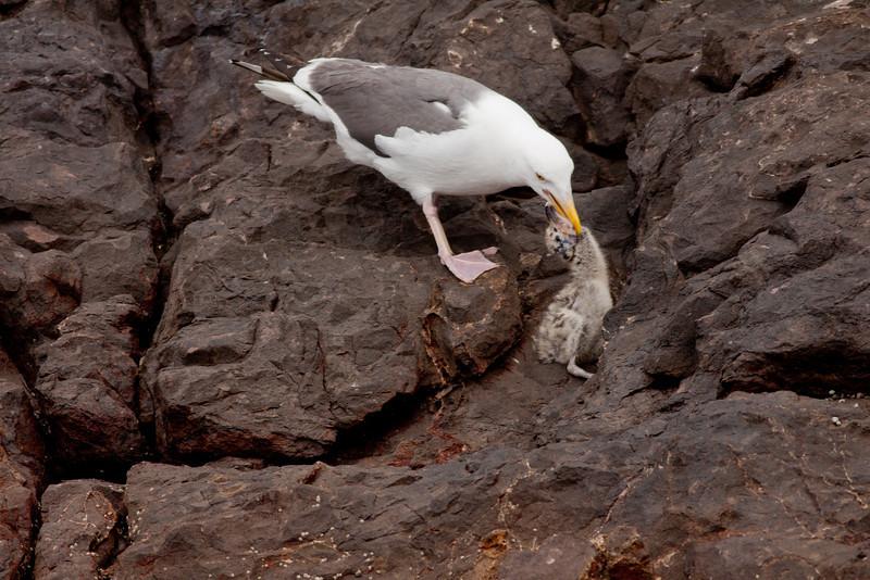 Western Gull  Los Coronados Islands 2010 06 16-16.CR2