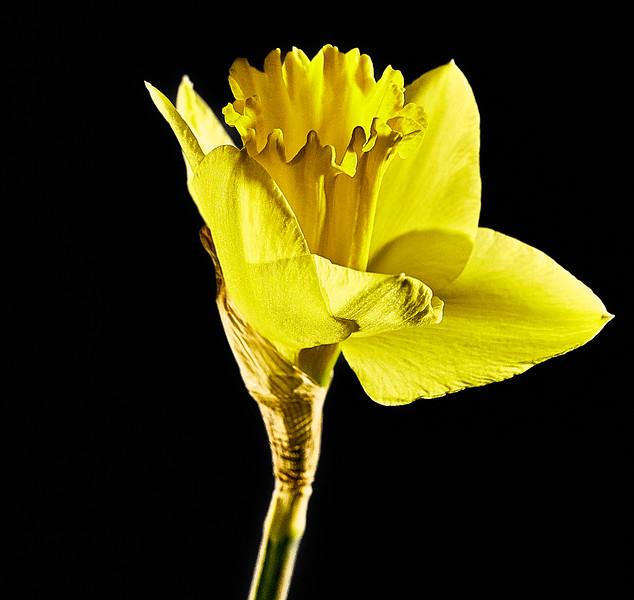Day 50 - Daffodil-4018.jpg