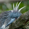 It's Been a Glum Day: Closeup of a Tri-colored Heron at the Alligator Farm #1 02/14