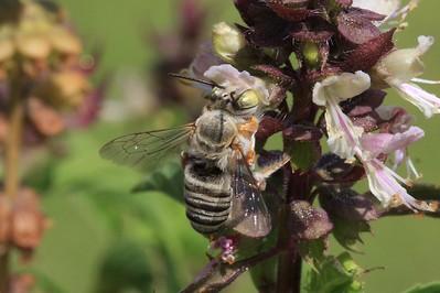 Megachile Leaf-cutter bee