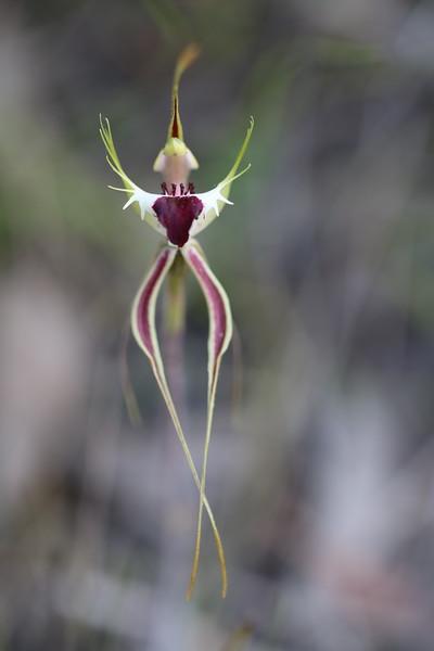 Caladenia tentaculata - Mantis Orchid - Anglesea