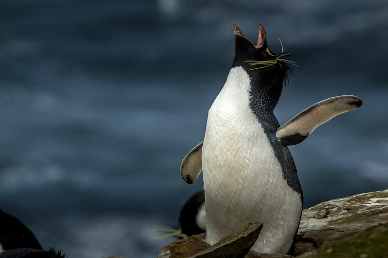 Rockhopper penguin, Sea Lion Island, Falklands