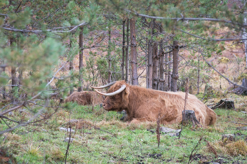 Scottisch Cattle taking it easy in Finland