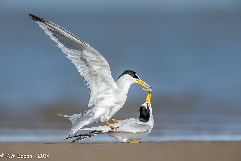 Least Terns Courting.jpg