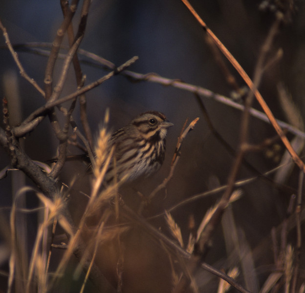Song Sparrow from Oxbow Nature Preserve, Lawrenceburg, IN   One from my first trip to the Oxbow Nature Preserve, a rather large expanse of wetland preserved by a private group at the mouth of the Great Miami River; it intersects the Ohio River here, and creates a large, marshy area perfect for migrating and resident waterfowl.  Of course, the wheat fields bordering it are a nice habitat for these rather common little sparrows.