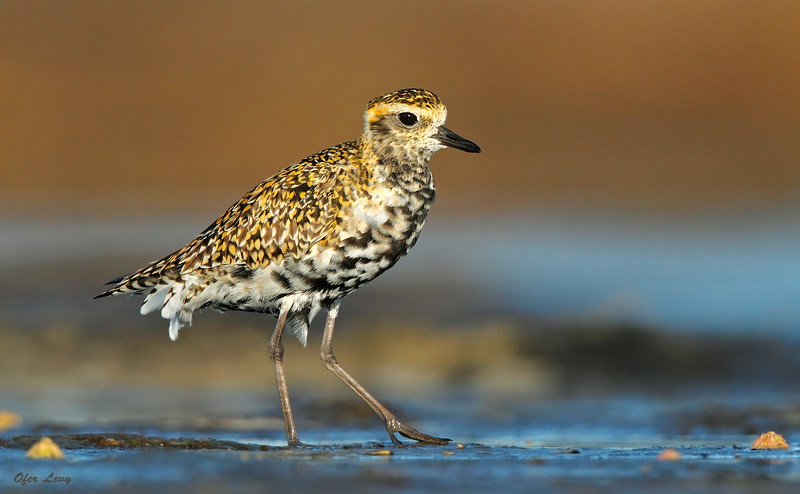 Pacific Golden Plover 1.jpg