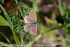 Brown Argus Aricia agestis (6)