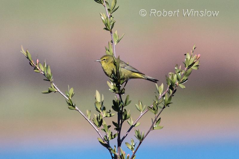 Orange-crowned Warbler, Oreothlypis celata, La Plata County, Colorado, USA, North America