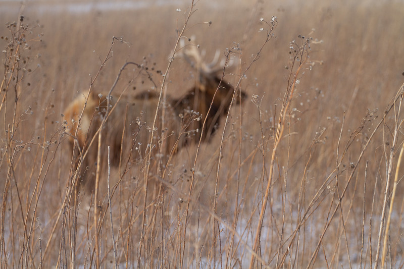 Elk bull Neal Smith National Wildlife Refuge NWR Prairie City IA  IMG_2259.jpg