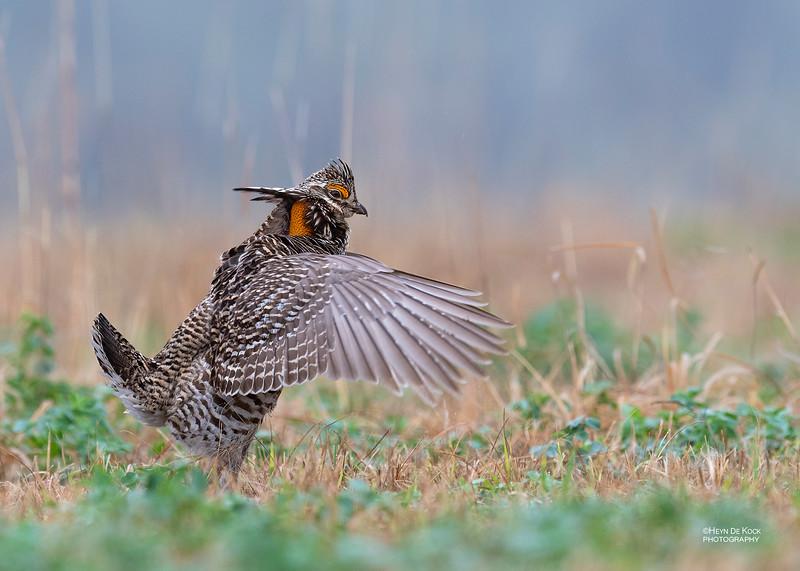 Greater Prairie-Chicken, Burchard, NE, US, May 2018-18.jpg