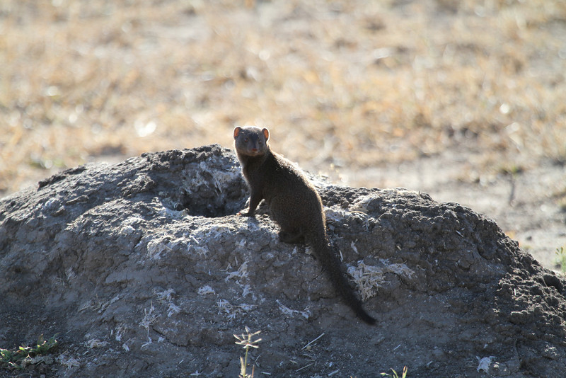 Dwarf mongoose on termite hill