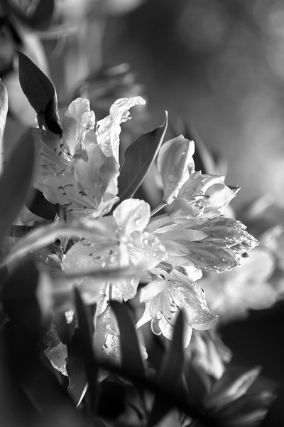 Flower BW copy.jpg
