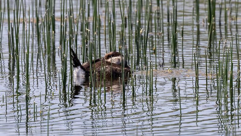 Ruddy Duck @ Santa Ana NWR