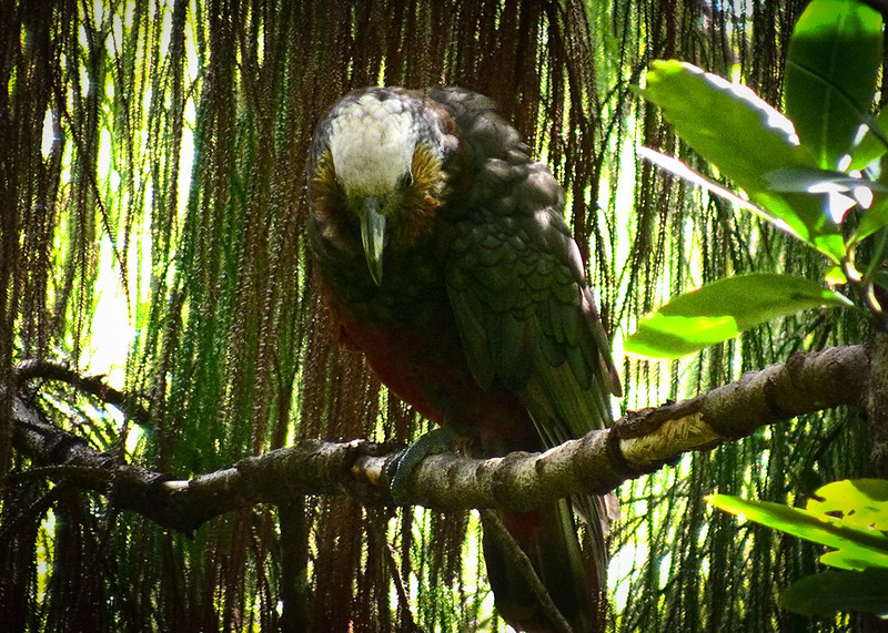 Kaka (Nestor meridionalis meridionalis)
