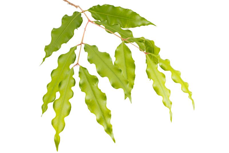 Aniseed Myrtle leaves 8p.jpg