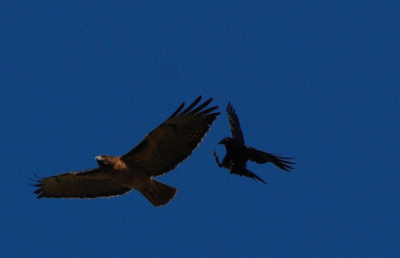 Red-tailed Hawk and Crow - 11/25/2011 - Poway Pond
