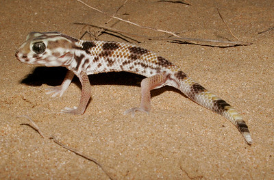 Persian Wonder Gecko