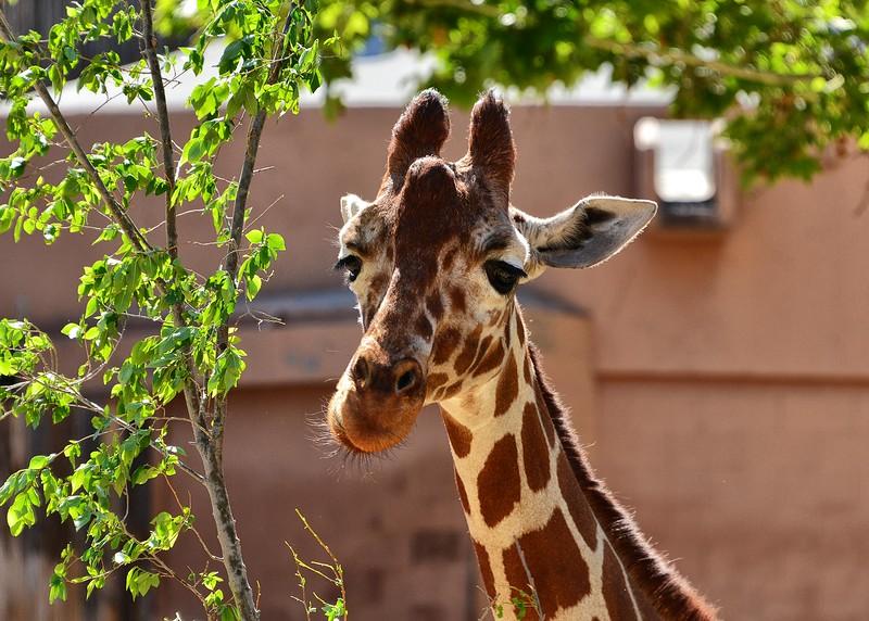 NEA_0739-7x5-Giraffe.jpg