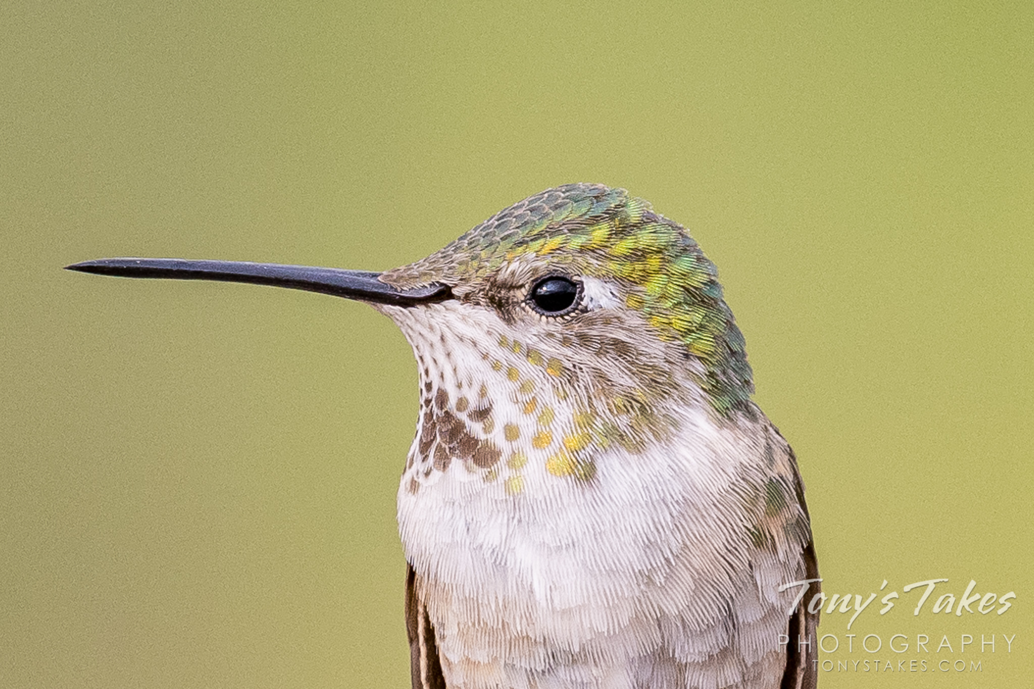 Extremely cropped hummingbird image. Canon R5, Canon EF 100-400mm f/4.5-5.6L IS II USM @ 400mm, 1/800, f/8, ISO 640.