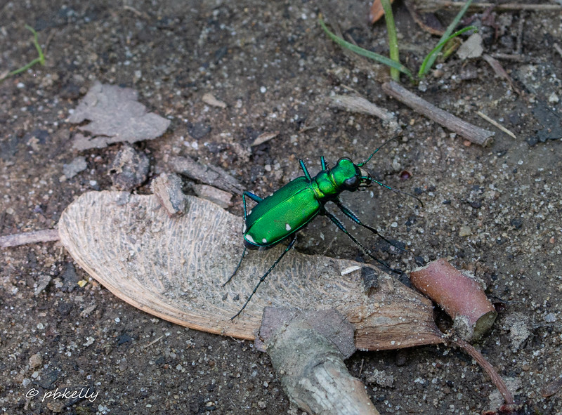 tiger beetle 052718.jpg