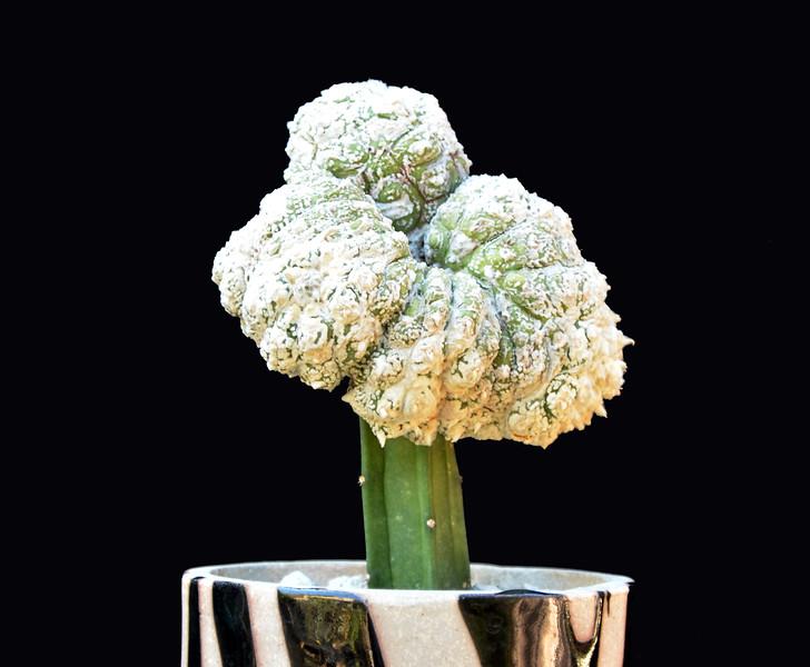 Astrophytum asterias v type crest