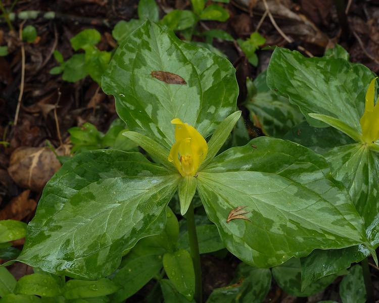 Yellow Trillium - Trillium luteum