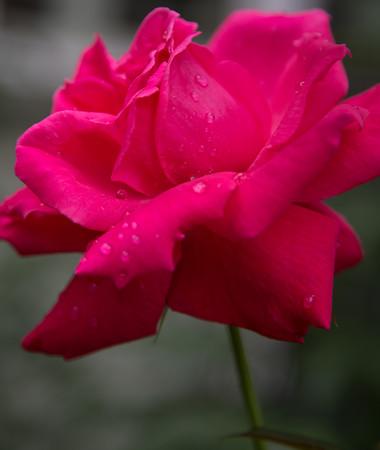 Roses, October 2015