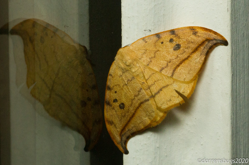 Arched Hooktip, Drepana arcuata (Drepanidae).