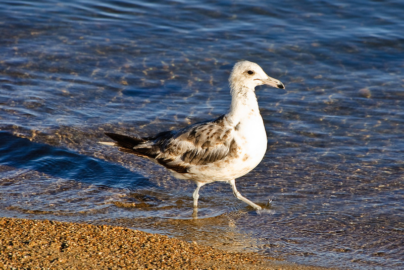 Water bird on the shore of Lake Tahoe.
