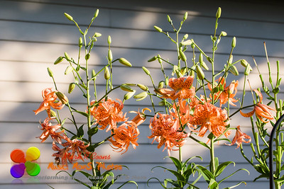a wide angle view of a several blooming Tiger Lilies