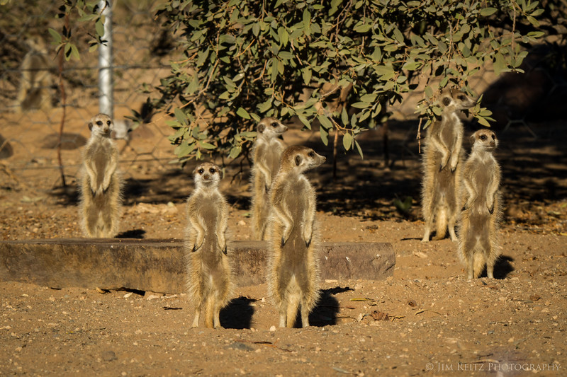 A mob of Meerkats warily sneaks into a cheetah enclosure - game reserve near Keetmanshoop, Namibia