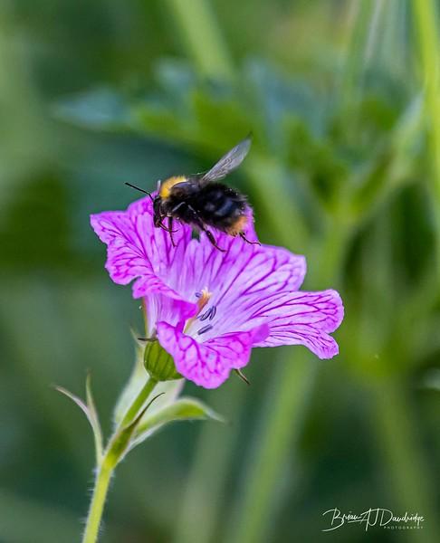 Garden Bees-3602.jpg