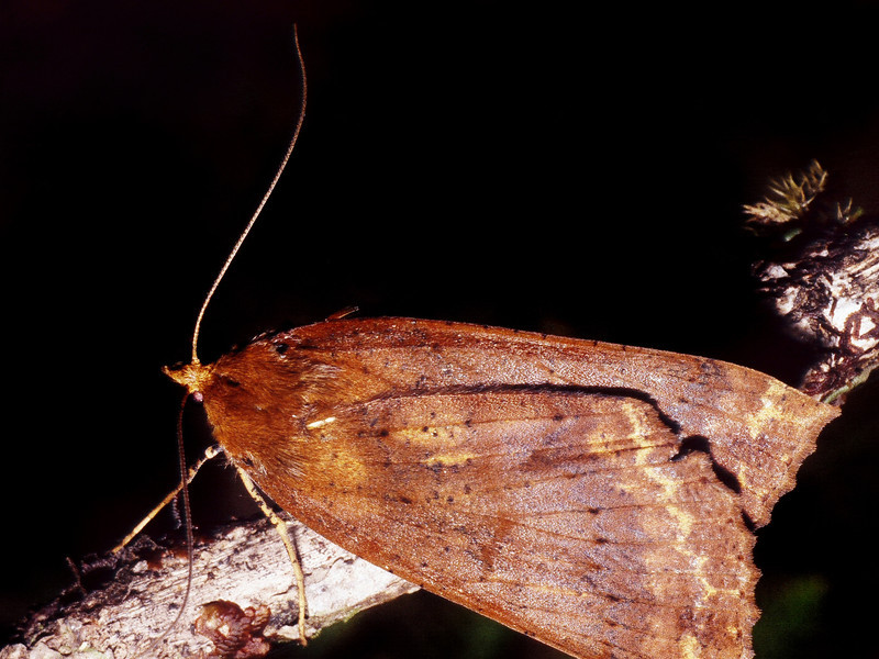Scotorythra rara (Geometridae), West Maui