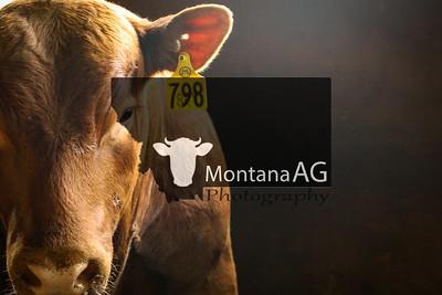 Midland Bull Test Sale 2019