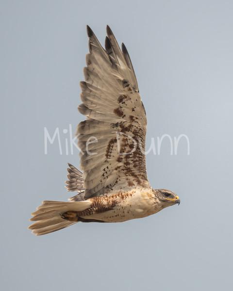 Ferruginous Hawk-169
