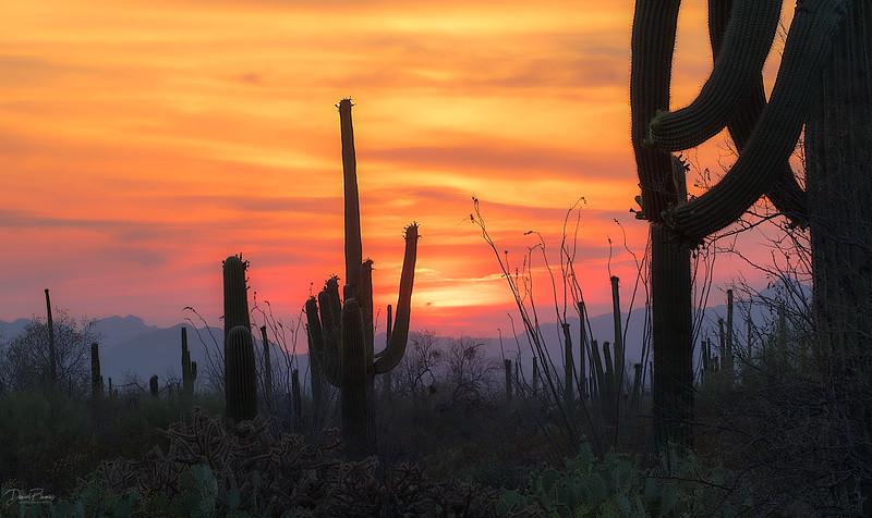 Saguaro Cacophony