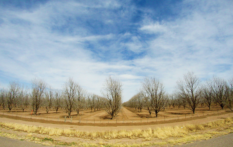 A huge pecan orchard goes on for miles.