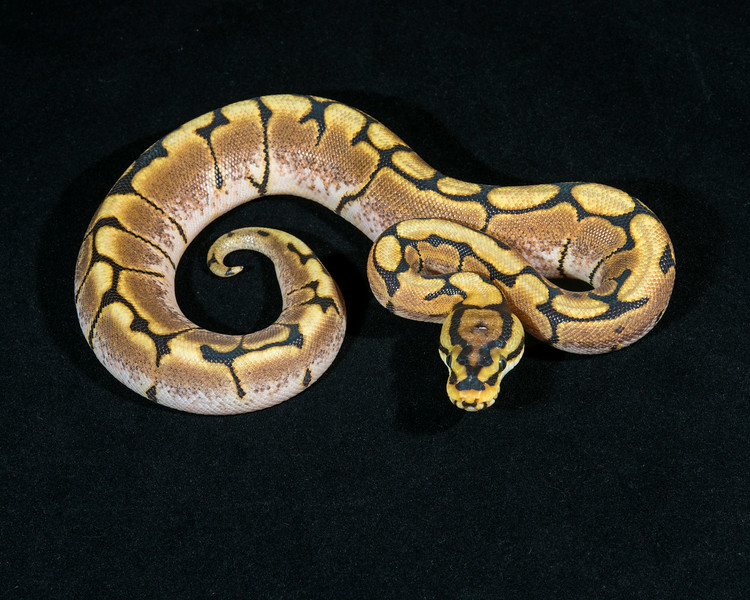 Spider Het Albino F0314, $75, hold for Darlene
