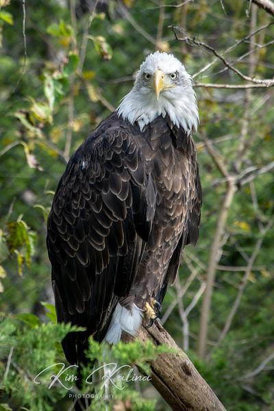 Bald Eagle-05243.JPG