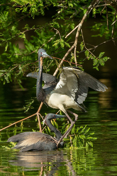 This Tri-colored Heron stood on the second bird for quite a while.