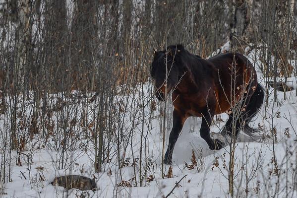11 2013 Nov 8 Alberta Wild Horses In A Snow Storm*^
