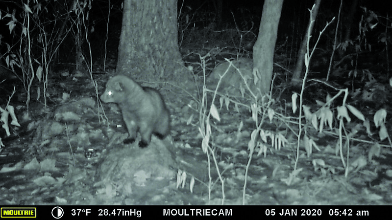 A fisher recorded on a camera trap set by Katerina Gillis, which will provide her with valuable data for her master's thesis. Courtesy of Katerina Gillis.