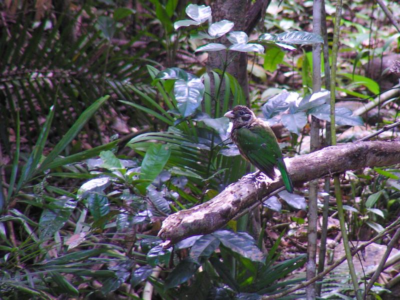 Spotted Catbird (Ailuroedus maculosus)