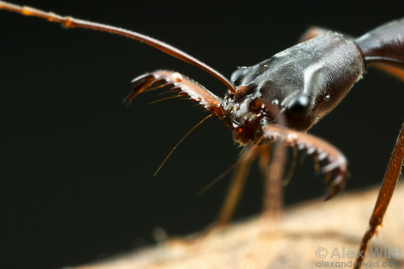 Sensitive trigger hairs of the trap-jaw ant Odontomachus coquereli protrude forward from the base of the mandibles.  Madagascar