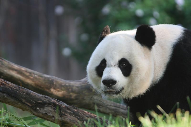 Panda072807_012.JPG
