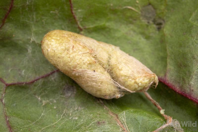 Copidosoma sp.
